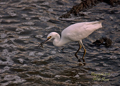"""Gotcha!!!"" Snowy Egret Looking for Dinner During Sunset at Mill Creek Marsh in Secaucus NJ (Meadowlands) (takegoro) Tags: creek marsh nature wildlife sunset snowy meadowlands egret mill nj birds secaucus egret"