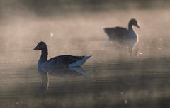 Greylag Geese (Chris Bainbridge1) Tags: morning mist early anseranser greylaggoose