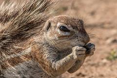 J5. cureuil de terre du Cap - Kglagadi Transfrontalier Park (Darth Jipsu) Tags: animal mammifre ecureuil terrestre savane sable afrique du sud botswana kgalagadi