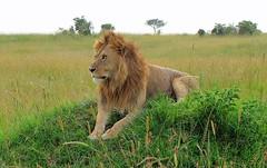 Surveying. (welloutafocus) Tags: lion cats africa kenya
