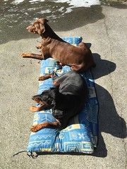 Dobies in the sun - Dobermanns Gabbana and Zeus in the back yard. (firehouse.ie) Tags: dog dogs brown red tan black male female k9 dobies dobie pinschers pinscher doberman dobermanns dobermann dobermans dobes dobe gabbana zeus