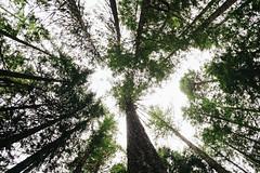 North Cascade Trees (Alexander Tran | atranphoto.com) Tags: atran atranphoto atranfoto nps100 nationalpark national park goparks findyourpark nps north cascades pnw pacificnorthwest fujifilm xt1 trees lookup below up