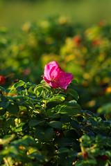 Dzika ra (jacekbia) Tags: przyroda natura nature roliny kwiaty ziele green flowers plant ra rose bokeh canon 1100d m42 135mm revuenon outdoor