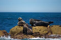 IMG_4476_edited-1 (Lofty1965) Tags: islesofscilly ios seal