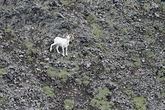 Dall's Sheep full-curl ram, aerial photo (Jared Hughey) Tags: wild animal wildlife nature landscape scenery wilderness mammal bird nationalparkservice research science nabesna wrangellsteliasnationalparkandpreserve wrangellmountains alaskarange central alaska