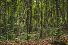 Forest (Miguel A. Garc) Tags: lafagedadenjorda girona gerona catalunya catalua espaa spain landscape forest bosque hayedo haya