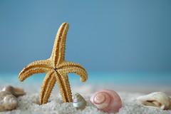 Lifes a beach... (Shelby's Trail) Tags: macromondays theme star starfish shells macro hmm ~ stars wow