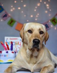 My boy turned 1 (Sharron Burns) Tags: dog portrait dogportrait oneyearold birthday guidedogpuppy labrador yellowlab
