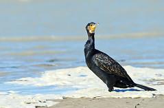 Grand Cormoran (kingfisher001) Tags: oiseaux grand cormoran greatcormorant phalacrocorax carbo suliformes ctes rocheuses baiedauthie picardie hautsdefrance sablonneuses pointe de la dune blanche