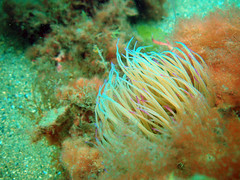 DurlBay 20 Snakelocks anemone (bloomspix) Tags: seasearch underwater englishchannel swanage