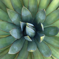 Agave (j.towbin ©) Tags: allrightsreserved© agave leaves plants garden ourgarden nature green img4988