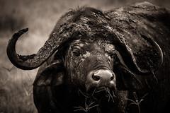 _DSG6929-3.jpg (sylvainbenoist) Tags: africa afrique animaux bovidés bovinés buffle continentsetpays mammifères nature ngorongoro tz tza tanzania tanzanie