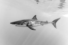 A near perfect profile (George Probst) Tags: blackandwhite shark greatwhiteshark underwater torpedo outdoor wildlife