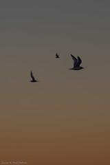 Birds in silhouette (Elvar H) Tags: arcticocean helmerhansen siarctic birds ice iceedge sunset