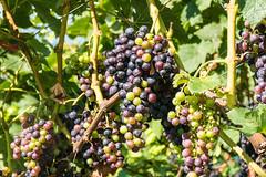 im Weinberg (oonaolivia) Tags: blackgrapes trauben grapes weinberg vineyard nature