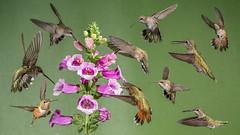 Foxglove potpourri -2232 (Eric Gofreed) Tags: arizona hummingbird mybackyard purplefoxglove sedona villageofoakcreek