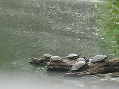 Central Park Turtles (csny84) Tags: centralpark turtles turtlepond