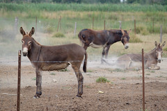 11072016-DSCF4908-2 (I Ring) Tags: sna equus africanus asinus donkey ne commun camargue juli 2016 france domestic fujifilm fuji xt1 animals