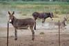 11072016-DSCF4908-2 (Ringela) Tags: åsna equus africanus asinus donkey âne commun camargue juli 2016 france domestic fujifilm fuji xt1 animals