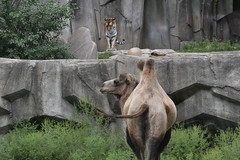Tiger and Camel (LaurenVirovatz) Tags: tigers camels nature wildlife zoo outdoors animals