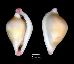 Gastropoda Pseudosimnia vanhyningi (MaKuriwa) Tags: gastropoda moluscos