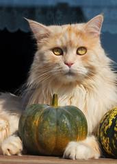 Mum says I need a pumpkin ! (FocusPocus Photography) Tags: linus katze kater cat chat gato tier animal haustier pet krbis pumpkin