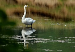 me and my................... (Suzie Noble) Tags: whooperswans swans swan riverglass river strathglass struy bird pikepond