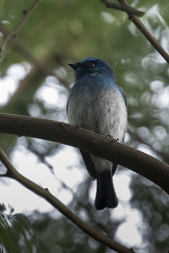Indigo Flycatcher - Ijen - East Java_MG_7874