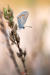 Bluling mit Tropfen 13.jpg (oliver r.) Tags: canon tamron macro makro nature natur insect insekt wildlife outdoor bluling schmetterling butterfly falter wasser water tropfen drops wassertropfen waterdrops