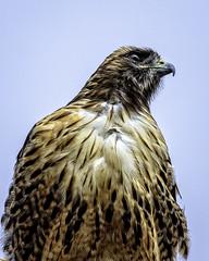Hawkeye (lennycarl08) Tags: redtailedhawk birdofprey raptor pointreyes 5d4 canon5dmkiv canon5dmarkiv pointreyesnationalseashore california northerncalifornia