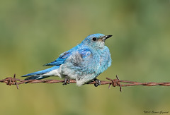 Male Mountain Bluebird  4599 (Bonnieg2010) Tags: malemountainbluebird mountainbluebird bluebird fluffedfeathers wild nature avian bird wire bonniegrzesiak