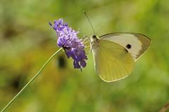 Cavolaia (luporosso) Tags: natura nature naturaleza naturalmente nikond300s nikon cavolaia farfalla farfalle butterfly butterflies borboleta mariposa papillon macro closeup
