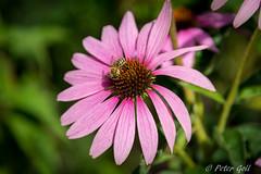 Daisy with bee (pego28) Tags: sdtirol italien italy southtyrol natur nature holiday vacation urlaub 2016 nikon nikkor d800 flower daisy bee biene blume botanic makro macro brixen