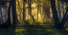 Watching (nicklucas2) Tags: animal deer sunrise tree wildlife grass green orange mist silhouette landscape forest