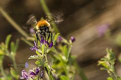 Apurando el ltimo nctar del verano. (Agus E. Lpez Calvo) Tags: insectos abejas abejorros