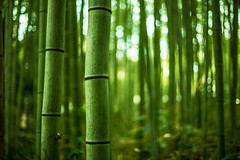 Arashiyama Bamboo Forest (Tim Grey 5D3) Tags: trees plants 3 green beautiful japan forest canon photography 50mm grey tim kyoto dof bokeh mark f14 iii bamboo sharp exotic arashiyama 5d osaka usm timothy fifty nifty kyotoa 5d3 5dmarkiii 5diii 5dmark3 vigilantphotographersunite vpu2 vpu3 vpu4