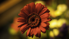 Red Gerbera (barry lee (barry lee photography)) Tags: flowers red color water bright gerbera flowerbrightcolorflowersgerberagreenleavesorchidpinkpurpleredwhite