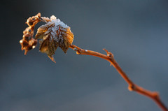 """""""Let our hearts never get used to the miracles that happen around us...everyday..."""" (~Ranveig Marie~) Tags: pictures blue winter light sunset plant macro ice nature leaves norway closeup grey norge frozen leaf drops vinter nikon frost branch dof sundown photos bokeh pics natur january norwegen images drop norwegian foliage faded photographs noruega wilted bud 60mm withered simple makro tamron bilder januar norvege jren sandnes rogaland norsk soleglad d40 digitalcameraclub smeaheia macrolife ranveigmarienesse ranveignesse"""