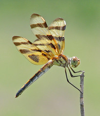 Female Halloween pennant blowing in the wind (Vicki's Nature) Tags: brown female canon georgia gold wings bravo grandmother dragonfly ngc npc return s5 bigmomma halloweenpennant gamewinner charlieelliott faves50 0946 friendlychallenges vickisnature faveswinner 100commentgroup mothergrandmotherchallenge mothermotmchallenge friendlywinner 15macro readyfavored readymotm gameinsect mothernaturemacro yourocksolitary friendlyflyinginsect aas2013winner mothergrandmotherchallengeearlierdeletedreentered returnmasterpieces motmaug13 faves50x2