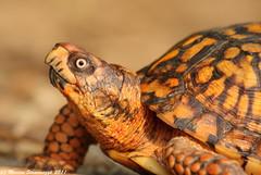 Turtle Closeup (v4vodka) Tags: nature animal turtle reptile wildlife tortoise terrapenecarolinacarolina easternboxturtle zolw sunkenmeadowstatepark
