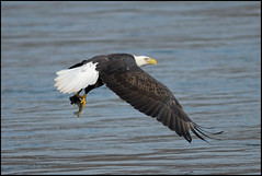 Bald Eagle After the Catch (Mark Schwall) Tags: bird fishing md nikon eagle ngc flight baldeagle maryland manualfocus birdofprey americanbaldeagle conowingo harfordcounty susquehanariver conowingodam d300s nikkor600mmais