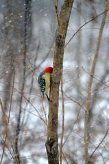 (DBesch8) Tags: trees winter snow bird birds flying woods feeder wilderness snowfall