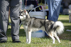 Dudley (Alexandra Kimbrough) Tags: show dog toy miniature husky pentax huskies event kai klee alaskan ukc conformation akk