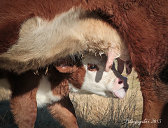 An Udderly Beautiful Day (Blazingstar) Tags: cow milk calf udder