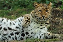 Amur Leopard (Buggers1962) Tags: portrait animal cat canon zoo feline leopard bigcat colchester carnivore colchesterzoo amurleopard carnivora itsazoooutthere canon7d flickrbigcats highqualityanimals wlidfelinephotography leopardpic