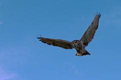 Hey! Look At Me (Follow That Dream Photography) Tags: blue sky orange bird flying eyes bright eagle owl powerful distinctive