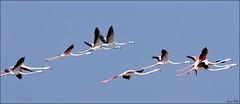 Greater Flamingos (Phoenicopterus roseus) (Gurusan2010) Tags: tirunelveli