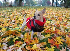 (lucidcats) Tags: autumn trees light red portrait dog brown tree green fall beautiful grass leaves yellow washington leaf state utata vancouverwa puppia thebestyellow