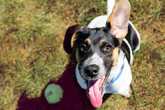 Throw the ball!!! (Kendra Marie Photography) Tags: cute goofy puppy mutt mix play adorable tennisball rescuedog shelterdog