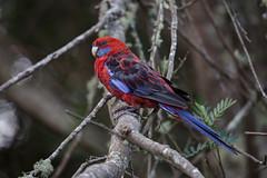 Crimson Rosella 2013-02-09 (IMG_0996) (ajhaysom) Tags: australia lorne australianbirds crimsonrosella platycercuselegans lemonadecreekcottages